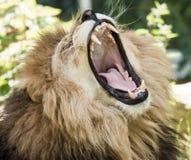 Retrato de un león del rugido Imagenes de archivo