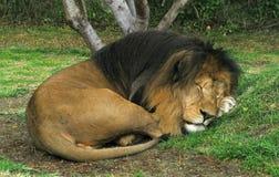 Retrato de un león el dormir Foto de archivo