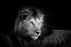 Retrato de un león hermoso de los cuatro mosqueteros en Masai Mara Fotos de archivo libres de regalías