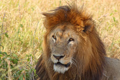 Retrato de un león masculino Fotos de archivo libres de regalías