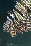 Retrato de un lionfish común. Imágenes de archivo libres de regalías