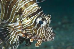 Retrato de un lionfish común. Fotografía de archivo