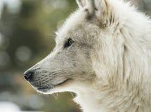 Retrato de un lobo gris Fotografía de archivo libre de regalías