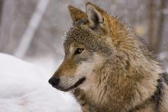 Retrato de un lobo gris europeo Fotos de archivo libres de regalías