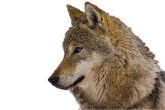 Retrato de un lobo gris europeo (lupus de Canis lu Foto de archivo libre de regalías