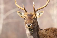 Retrato de un macho de los ciervos en barbecho Imágenes de archivo libres de regalías