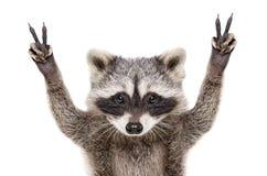 Retrato de un mapache divertido, mostrando una paz de la muestra foto de archivo libre de regalías