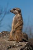 Retrato de un meerkat Imagen de archivo