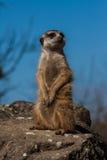Retrato de un meerkat Imagen de archivo libre de regalías
