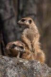 Retrato de un meerkat Fotografía de archivo