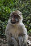 Retrato de un mono Foto de archivo