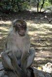 Retrato de un mono Foto de archivo libre de regalías