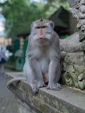 Retrato de un mono adulto en una repisa foto de archivo libre de regalías