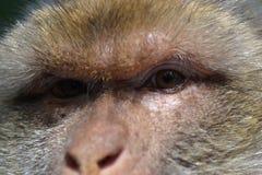 Retrato de un mono, cierre para arriba Fotos de archivo