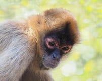 Retrato de un mono de araña dado negro Imágenes de archivo libres de regalías