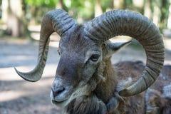Retrato de un mouflon Fotos de archivo
