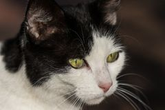 Retrato de un negro, gato blanco foto de archivo libre de regalías