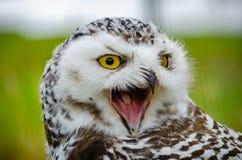 Retrato de un Nevado alarmado Owl Bubo Scandiacus imagenes de archivo