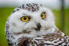 Retrato de un Nevado Owl Bubo Scandiacus fotos de archivo libres de regalías