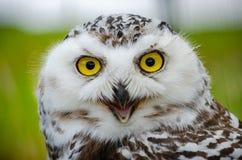 Retrato de un Nevado Owl Bubo Scandiacus imagen de archivo libre de regalías