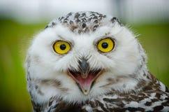 Retrato de un Nevado Owl Bubo Scandiacus fotografía de archivo libre de regalías