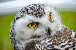 Retrato de un Nevado t?mido Owl Bubo Scandiacus foto de archivo