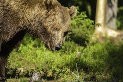 Retrato de un oso de Brown masculino (arctos del Ursus) Fotos de archivo