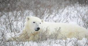 Retrato de un oso polar Imágenes de archivo libres de regalías