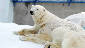 Retrato de un oso polar que descansa en un parque zoológico metrajes