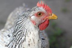 Retrato de un pájaro el pollo se sienta en la hierba Imagen de archivo