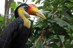 Retrato de un pájaro tropical del Hornbill Fotografía de archivo libre de regalías