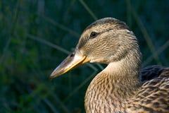 Retrato de un pato Foto de archivo libre de regalías