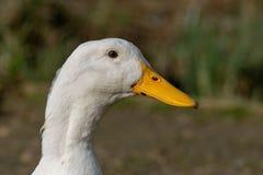 Retrato de un pato pesado blanco de Pekin imagen de archivo libre de regalías