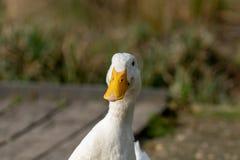 Retrato de un pato pesado blanco de Pekin imagen de archivo