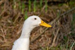 Retrato de un pato pesado blanco de Pekin imagenes de archivo