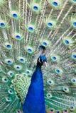 Retrato de un pavo real Foto de archivo libre de regalías