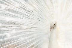 Retrato de un pavo real blanco, con las plumas abiertas, realizando la danza nupcial imágenes de archivo libres de regalías