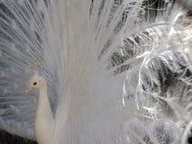 Retrato de un pavo real blanco masculino foto de archivo
