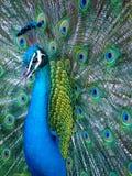 Retrato de un pavo real indio azul imagenes de archivo