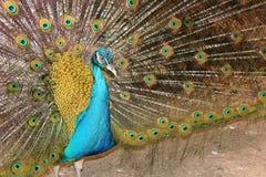 Retrato de un pavo real masculino Imagen de archivo libre de regalías