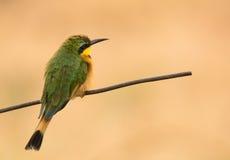 Retrato de un pequeño Abeja-comedor, África suroriental del pájaro Fotografía de archivo