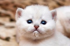 Retrato de un pequeño gatito blanco que bebió la leche y manchó el bozal fotos de archivo