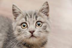 Retrato de un pequeño gatito hermoso con una mirada conmovedora Fotografía de archivo