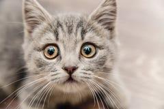 Retrato de un pequeño gatito lindo con una mirada conmovedora Fotos de archivo libres de regalías