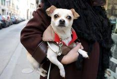 Retrato de un pequeño perro Imagen de archivo libre de regalías