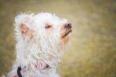 Retrato de un pequeño perro blanco con los pelos rizados con una mirada blanda y atenta imagen de archivo