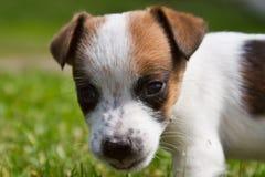 Retrato de un pequeño perro en la calle Jack Russell Terrier Foto de archivo