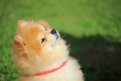 Retrato de un pequeño perro enano del perro de Pomerania que se está sentando mirando su amo fotografía de archivo libre de regalías