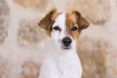 Retrato de un pequeño perro joven lindo sobre el fondo de piedra Amor Fotos de archivo libres de regalías