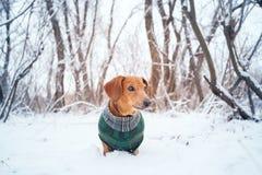 Retrato de un pequeño perro, vestido en una capa imágenes de archivo libres de regalías
